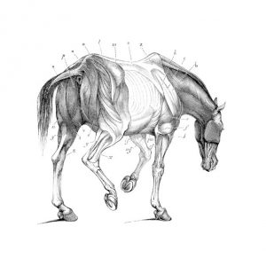 Equine Anatomy and Health Considerations Online Course